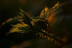 Himalayan Blackberry (Kristian Francke) Tags: light canada green bush bc blackberry pentax 4 may columbia 17 british himalayan helios 44k k50 2017