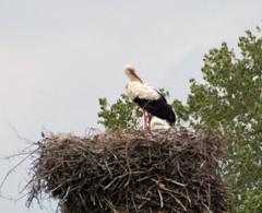 Storchenkind mit Mama (babicka_k) Tags: storch hervest