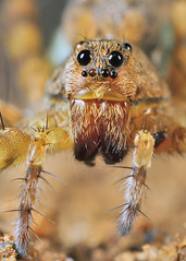 Wolf Spider (karthik Nature photography) Tags: macro closeup canon spiders wildlife insects wolfspider macrophotography closeupphotography macroworld wildlifephotography insectphotography canonmpe65 macrolife wildlifeindia canon5dmark3 macrolifeinindia wwwkarthikeyanscom
