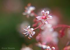 Schildersverdriet ( Annieta ) Tags: flower macro netherlands fleur garden spring flora sony nederland jardin mei tuin lente allrightsreserved bloem 2016 krimpenerwaard annieta schildersverdriet a6000 saxifragaxgeum usingthispicturewithoutpermissionisillegal
