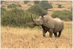Stay Safe Thee Forever! (MAC's Wild Pixels) Tags: africa ngc npc rhino wildanimal critical blackrhino endangeredspecies wildafrica macswildpixels dwindlingnumbers staysafetheeforever