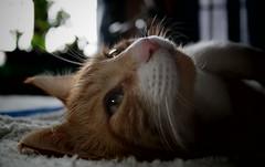 I am a king :) (mcg0011) Tags: cat chat gato rey katze kot katt hauskatze