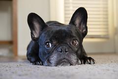 06-14-16 (2424) Sad Face (Lainey1) Tags: dog fuji sad oz bulldog frenchie frenchbulldog fujifilm 365 fujinon ozzy sadface frogdog 2424 lainey1 zendog elainedudzinski ozzythefrenchie 061416 fujixt10 theseventhyear fuji35mmf2wrlens fujigal 2424oz