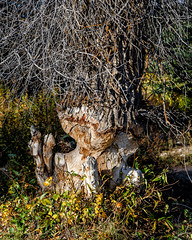 Beaver Art (Tim Lumley) Tags: trees plants reflection water animals pond unitedstates snakeriver wyoming aspen nationalparks mammals jacksonhole hardwoods grandtetonnationalpark castorcanadensis gtnp visibilityprivate northamericanbeaver
