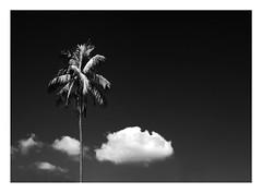 skyscape (kurtwolf303) Tags: sky bw topf25 monochrome clouds contrast dark skyscape topf50 topf75 500v20f himmel wolken palmtree sw kontrast topf100 palme dunkel 800views omd 900views 1000v40f 250v10f flickrelite unlimitedphotos micro43 microfourthirds himmelslandschaft olympusem5 kurtwolf303
