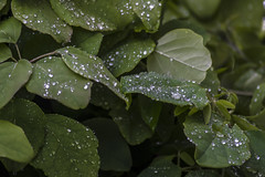 Droplets (Ingleberry2000) Tags: blue white green nature water leaves rain outdoors droplets wildlife clean crisp stable rainfall residue