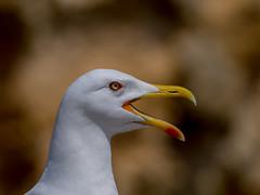Yellow legged gull (alanrharris53) Tags: portugal up yellow close head gull algarve legged squak 2016