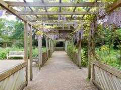 Wisteria in The Old English Garden, Battersea Park, London (Linda 2409) Tags: pergola