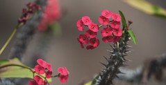 Crown Of Thorns - Explore (June 20th, 2016 - #404) (TQTran) Tags: flowers red arizona phoenix zoo cluster az tiny euphorbia crown thorns phoenixzoo tempe thorny crownofthorns milii euphorbiamilii clusteroftinyredflowers