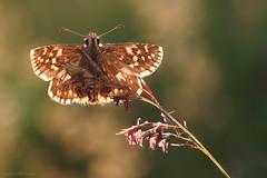 Skipper (ildiklaskay) Tags: insect hungary skipper papillon falter insekt insecte schmetterling hesperiidae pyrgus rovar lepke dickkopffalter busalepke