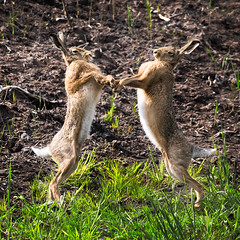 Fight Club Hares (Moward) Tags: hare martinmere wwt fight boxing nature