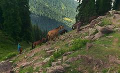 Nomads of Kashmir (Abdul Qadir Memon ( http://abdulqadirmemon.com )) Tags: pakistan kashmir abdul pir qadir azad memon chinasi