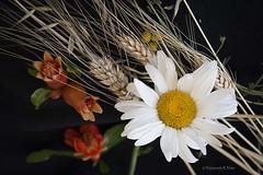 Bodegn floral (Otra@Mirada) Tags: flores colores margarita bodegon espigas