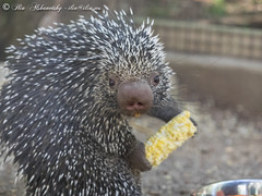Watcha looking at?! (Dr. Ilia) Tags: ontario canada tree animal zoo porcupine treeporcupine killmanzoo