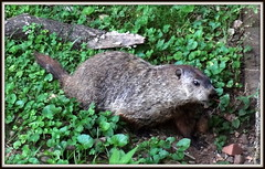 (uncle mike in knoxville) Tags: woodchuck groundhog