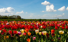 _DSC2783 (durr-architect) Tags: sky plant flower color colour field bulb landscape bright outdoor flowerbed tulip fields serene dronten flevoland oostelijk