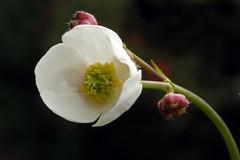 Ranunculus platanifolius (Ranunculaceae) 163 16 (ab.130722jvkz) Tags: ranunculus ranunculaceae