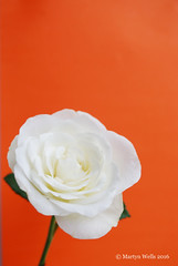 Week 25-2016 (mpw1421) Tags: red stilllife white flower rose nikon whiterose d60 ruleofthirds redbackground 522016edition 522016 wk2552