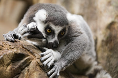 Ring-Tailed Lemur 08 (cypher40k Photography) Tags: toronto color colour zoo nikon torontozoo ringtailedlemur
