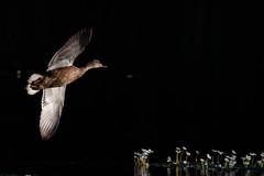 _F0A2892.jpg (Kico Lopez) Tags: birds rio spain aves galicia lugo mio anasplatyrhynchos anadeazulon