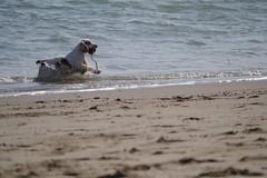 Got it! (WeLsHrOgS) Tags: sea dog sand waves newquay spaniel fetch ceredigion cardiganbay