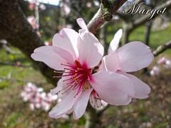 FIORE DI PESCO-peach flower (Margcoss) Tags: flower macro nature rosa fiore 2012 peachflower sonysti