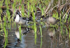 Northern Pintail (Anas acuta) drake & hen (R-Gasman) Tags: canada male bird female duck britishcolumbia burnaby northernpintail anasacuta burnabylake