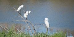riunione condominiale!!!!!!!! (taronik) Tags: natura uccelli acqua animali garzetta cacciafotografica blinkagain allofnatureswildlifelevel1