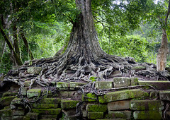 Roots of tree in the walls of Angkor, Cambodia (Eric Lafforgue) Tags: cambodge cambodia kambodscha cambodja kambodia kemboja kamboja kambodsja kambodja  camboya  kampuchea camboja cambogia 9921  kambodzsa  kamboda  kamboya jinpzhi  kamboda    caomin kamboiy kambodiya