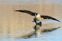 Incoming (Johnath) Tags: lake toronto ontario bird nature birds spring wildlife goose landing panic leslie crooked canadagoose crashlanding lesliespit tommythompsonpark