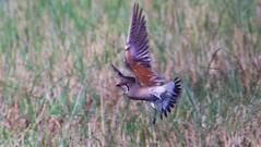 Oriental Pranticole (Breeding) (slr2006) Tags: wild bird canon sony 14 philippines tc 300 28l fd pampanga philippine candaba nex7 orientalpranticole