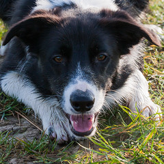 Winded (Bas Bloemsaat) Tags: dog mac collie border bordercollie