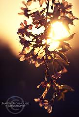 ~Gaudent In Lucem~ (Iacobus Images) Tags: light sunset tree leaves backlight 50mm golden petals nikon glow blossom f14 warmth af nikkor contrejour d90