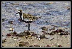Bird on Woody Point Beach-1=