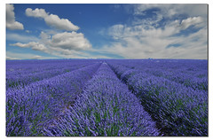 Endless (G.hostbuster) Tags: flowers sky cloud colors fleurs nuvole couleurs perspective ciel cielo lavander provence fiori nuages colori endless provenza prospettiva ghostbuster lavanda senzafine lavand top20blue gigi49 saariysqualitypictures magicalskiesmick