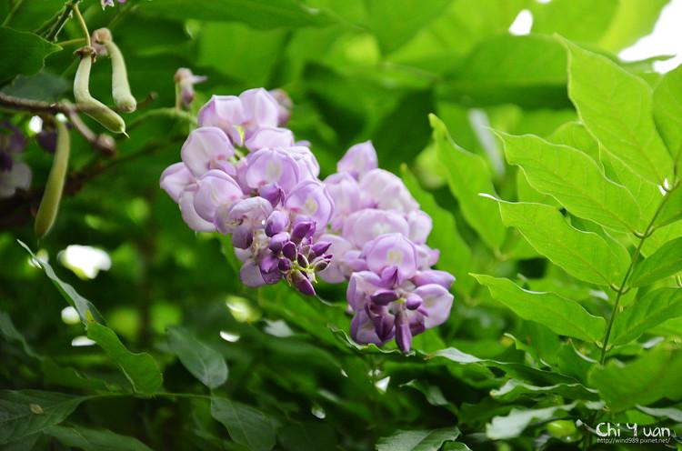 植物園紫藤03.jpg