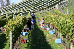 picking (clickthatmouse) Tags: harvest nz grapes picking handpicking