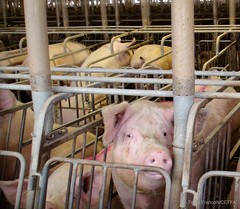 Sows in stalls (Twyla Francois) Tags: against metal barn concrete tim bacon injury sausage stall pork hunger horton chewing swine piglet pressure crate wound operation hog sow sham abuse thump pac suffer confinement laceration beheaded aural gestation decapitate injure pounded haematoma stereotypy