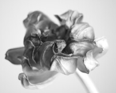 only beginnings (Nicole takes pictures) Tags: flower beauty death decay tulip dying