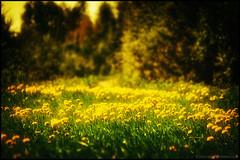 Summer (Jonas Thomén) Tags: flowers trees summer field grass forest skog blommor processed träd sommar åker gräs