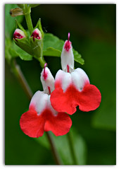 Luscious Lips (Eleanor (WHU)) Tags: garden floralfantasy perfectpetals salviahotlips flowersarebeautiful worldofflowers flickrsawesomeblossoms flickrflorescloseupmacros amazingdetails passionforflowers unforgettableflowers addictedtoflowers flowersonflickr weallloveflowers anaturecanvas beautifulflowergroup flowers4you brigettesbeautifulnaturegallery certifiedphotographerlevel1 madaboutflowers anythingnikonexceptpeople