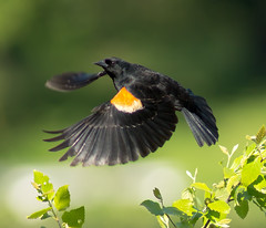 Red-Winged Blackbird (phenix) Tags: red bird minolta g sony ngc flight wing apo 300mm delaware blackbird f4 hs a77 thegalaxy beckspond mygearandme mygearandmepremium mygearandmebronze mygearandmesilver mygearandmegold mygearandmeplatinum mygearandmediamond ringexcellence dblringexcellence tplringexcellence pipexcellence eltringexcellence