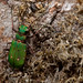 "229.-Cicindela. • <a style=""font-size:0.8em;"" href=""http://www.flickr.com/photos/63890276@N06/7214784268/"" target=""_blank"">View on Flickr</a>"
