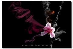 Flor de durazno. (N3CR0N0M1C0N) Tags: pink flowers naturaleza flores flower color art nature colors blackbackground photoshop photography photo petals cool nice flickr foto arte shot artistic smoke flor rosa pic colores petal fotografia humo digitalmanipulation artistico fotografa petalo smokeeffect artstico cs4 petalos ptalos ptalo fondonegro pedrodaniel manipulaciondigital efectohumo n3cr0n0m1c0n pedrodanielhernandezphotography pedrodanielhernndezphotography