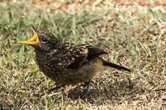 "Pied Bushchat (Hatchling) (AntoGros) Tags: bird indian pied hatchling ""the ""indian bushchat ""pied bushchat"" bushchat""saxicolacaprata""passerinebirdthrushturdidaechats""indianbirds""""wildindianbirds""""indianwildbirds""""wildlife""nature""birdsofindia""birdbirdsbirdingtropical""tropicalbirds""black birdblack""thepiedfemalebushchat""""piedindianfemalebushchat""""indianfemalebushchat""female bushchat""piedfemalebushchat""juvenile bushchatchickfeeding piedbushchathatchling"