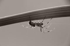 fade to grey (Mario Hafner) Tags: bw macro austria spider nikon krnten animalplanet 70300 raynox d90 sooc nikond90 70300vr beautifulmonsters mariohafner
