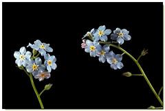 Forget-me-not Sprigs (Lisa-S) Tags: ontario canada flower lisas forgetmenot brampton onblack 5621 gicno copyright2012lisastokes