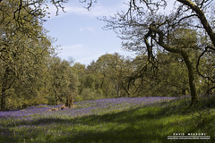 Clearing (DMeadows) Tags: wood trees nature bluebells rural forest woodland landscape scotland countryside shadows branches country bluebell trossachs glade clearing aberfoyle davidmeadows dmeadows davidameadows dameadows yahoo:yourpictures=yourbestphotoof2012