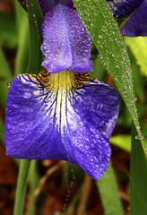 Iris flag, Dew and Spider Web (walker_bc) Tags: connecticut ct mystic noank mysticconnecticut macrounlimited noankconnecticut