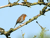 Robin (Mr Grimesdale) Tags: robin britishbirds stevewallace mrgrimesdale